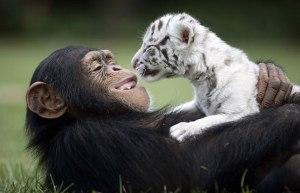 chimpandtiger
